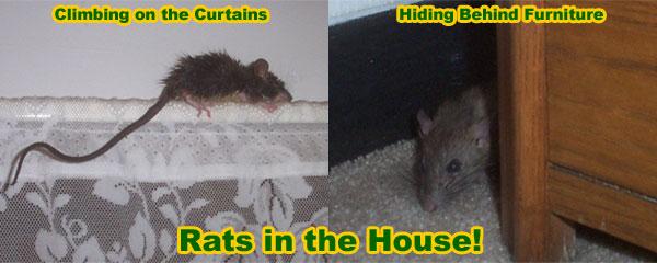 Do Mice Make Good Pets