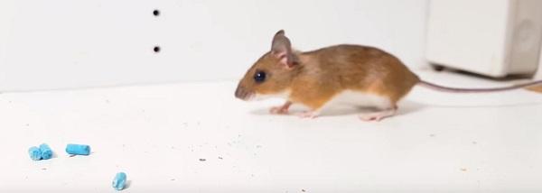 Do Mothballs Or Ammonia Help Repel Mice